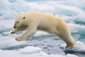 A frame-filling portrait of a male polar bear (Ursus maritimus) jumping in the pack ice. The young male, probably due to a mix of curiosity and hunger, got really close to our ship - less than 20 meters. Svalbard, Norway.